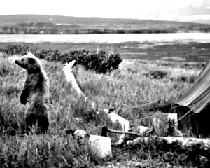 Radium Hot Springs Bear_in_camp_old_photography 25kb