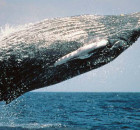 620 pxHumpback Whale Breaching Photo by Wanetta Ayers